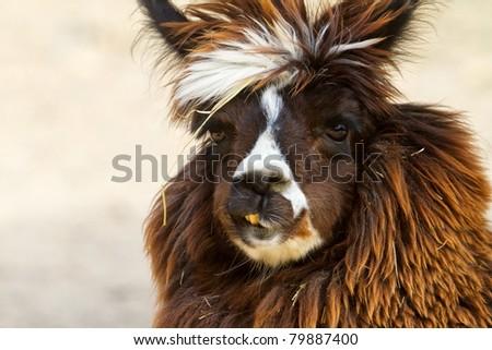 domestic llama face detail - stock photo