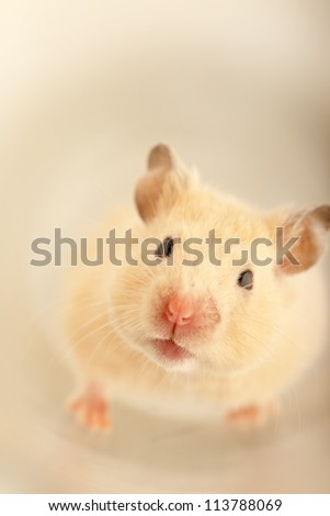 Domestic mouse crawling on a studio table - stock photo