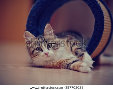 Domestic multi-colored kitten lies on a floor