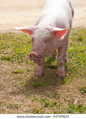domestic pig close up - stock photo
