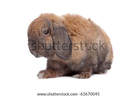 domestic rabbit isolated on white