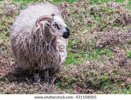 Domestic rams (male sheep) with furry, fluffy wool, horns and a black and white face, graze in a pasture. - stock photo