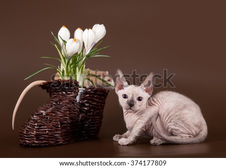 domestic rat and kitten sphinx near crocus