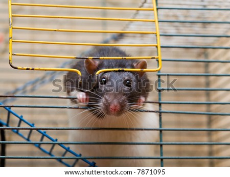 domestic rat looking out the entrance of her cage