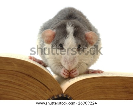 domestic rat sitting on opened ancient book - stock photo