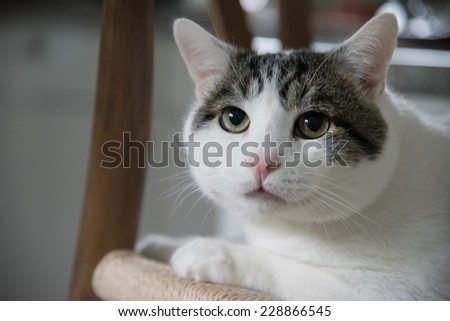 Domestic shorthair cat closeup portrait  indoors looking up - stock photo