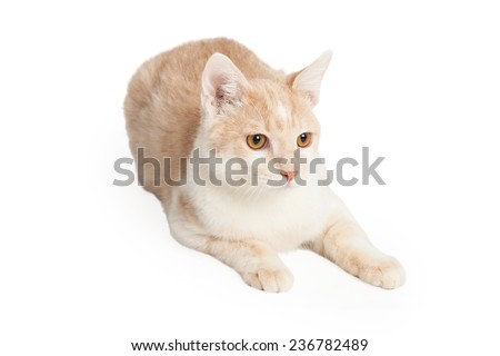Domestic Shorthair Cat laying at an angle with legs fully outstretched.