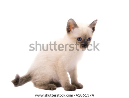 Domestic siam kitty isolated on the white background