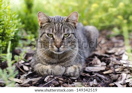 Domestic tabby cat resting in a garden.