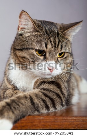 Domestic tabby, gray cat lazily lying on the table - stock photo