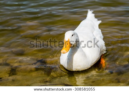 Domestic white duck swimming in the pond of a park - stock photo