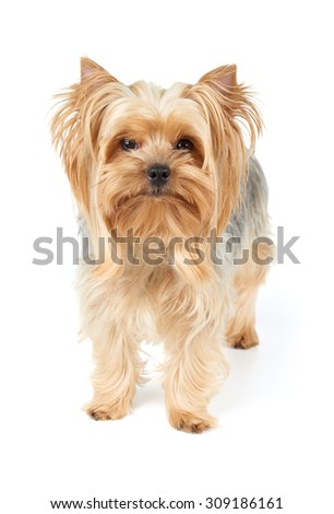 Domestic Yorkshire Terrier with golden hair stands on white isolated background                                - stock photo