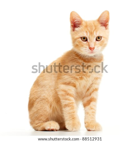 Domestic young kitten. Isolated over white background. - stock photo