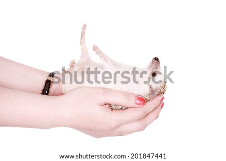 Domesticated hedgehog or African pygmy in hand - stock photo