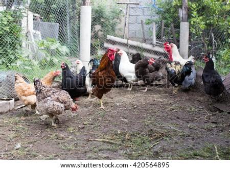domesticated hen in a farm in nature - stock photo