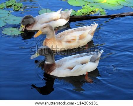 Domesticated Mallard Duck Variety - stock photo