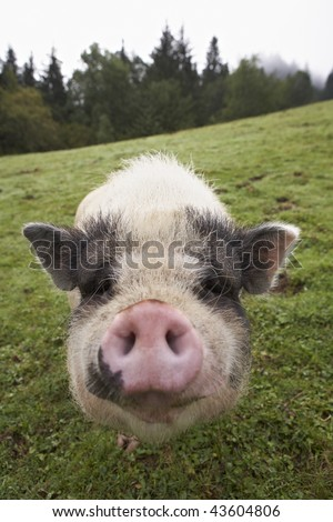 domesticated pig on grassy farmland putting the snout into the camera