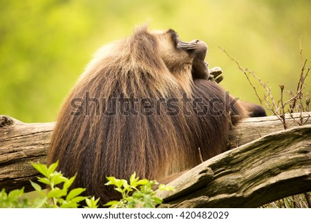 Dominant male Gelada, Theropithecus gelada
