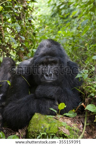 Dominant male mountain gorilla in the grass. Uganda. Bwindi Impenetrable Forest National Park. .