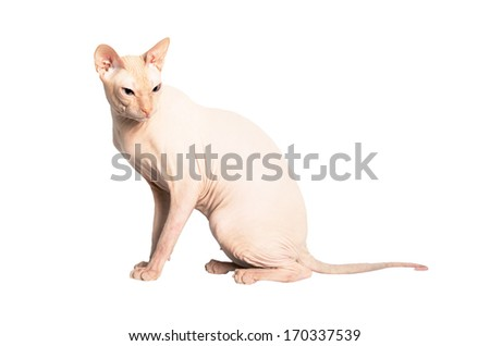 Don Sphinx (DONSPHINX) cat. Isolated on white background. - stock photo