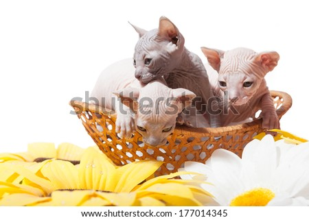 Don sphynx kittens in the straw basket on the white background with sunflowers - stock photo