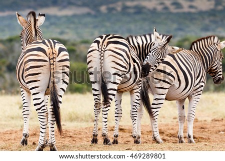 Don't look, need to scratch my bum - Burchell's zebra is a southern subspecies of the plains zebra. It is named after the British explorer and naturalist William John Burchell.