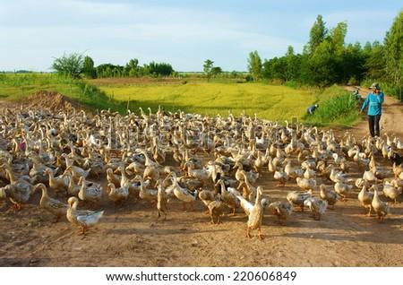DONG THAP, VIET NAM- SEPT 19: Asian farmer grazing flock of duck, vibrant landscape of Vietnamese village, yellow paddy field, many herd of domestic animal at Mekong Delta, Vietnam, Sept 19, 2014