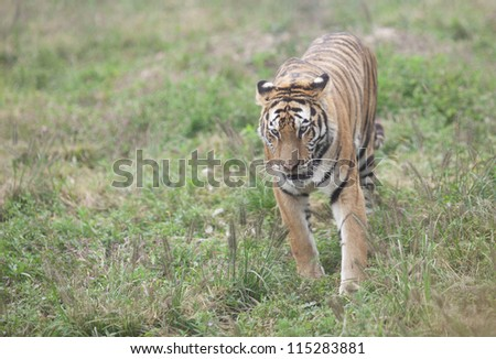 Dongbei tiger,namely asian tiger running in the zoo grassland - stock photo