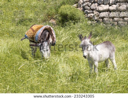 Donkey and Foal in Jerusalem - stock photo