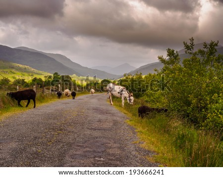 donkey and sheep on the streets of ireland - stock photo