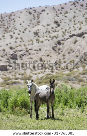 Donkey and small horse standing in a green field and both looking at the camera. Arid landscape of Calingasta. San Juan Province. Argentina - stock photo