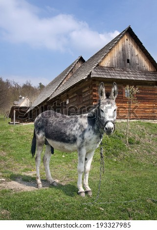 Donkey at farm  in the countryside; old wooden barn house in the background. - stock photo