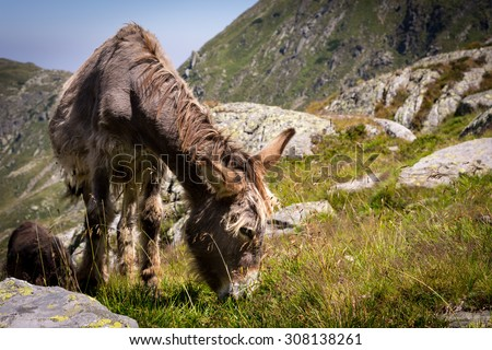 Donkey eating grass in the mountains, view with many stones, Carpathian Mountains, Romania - stock photo