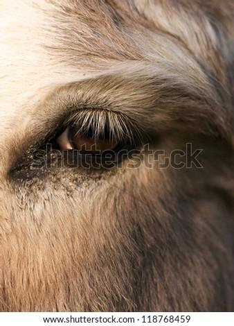 donkey eye - stock photo