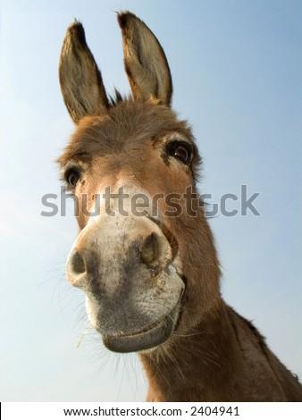 Donkey head (laughing). - stock photo