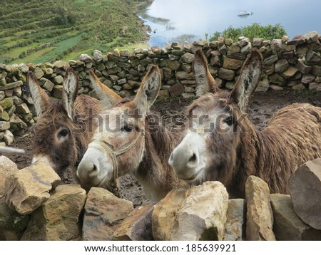 donkey in copacabana, titicaca lake, border of bolivia and peru                                - stock photo