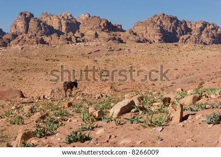 Donkey in Petra - stock photo