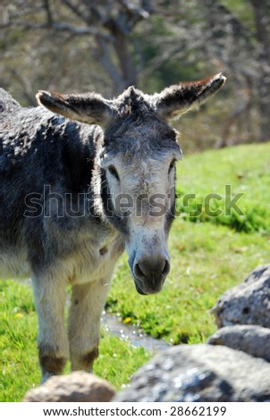 Donkey in the field looking at the camera