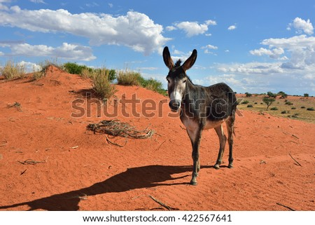 Donkey in the Kalahari desert at sun down, Namibia, Africa - stock photo