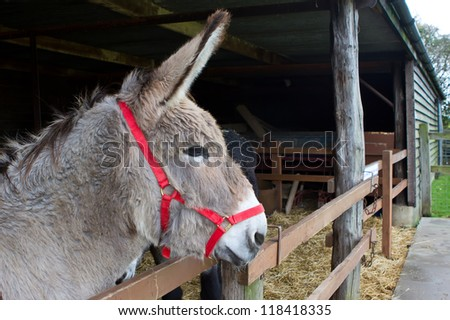 Donkey looking out from within his stable - stock photo