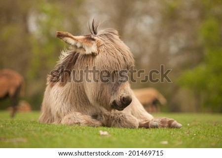 Donkey lying down with eyes closed dreaming. - stock photo