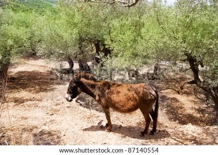 Donkey mule in s mediterranean olive tree field of Majorca Spain - stock photo