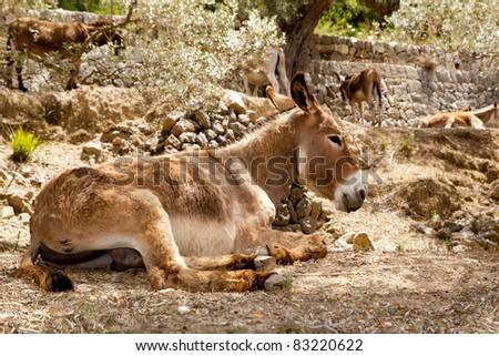 Donkey mule sitting in Mediterranean olive tree shade in Mallorca island - stock photo