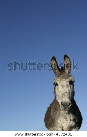 Donkey with huge ears against blue sky. - stock photo