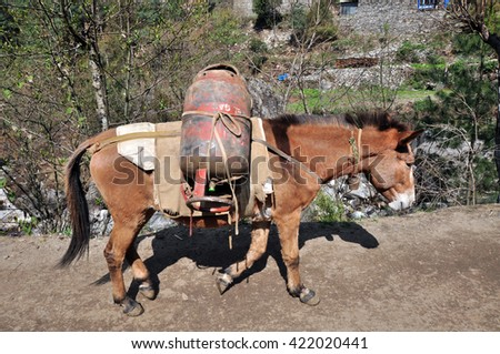 Donkeys are carrying goods, most found throughout the Himalaya region. - stock photo