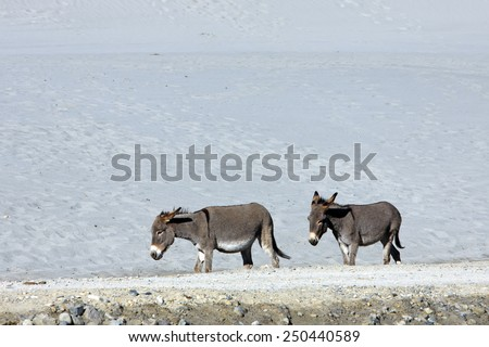Donkeys go on the sandy road - stock photo
