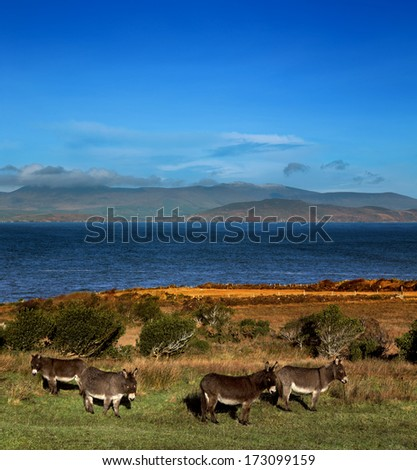 Donkeys graze on a field in County Kerry, Ireland. The Dingle Peninsula is visible in the background. - stock photo