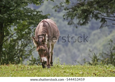 Donkeys graze on a meadow in the Swiss mountains