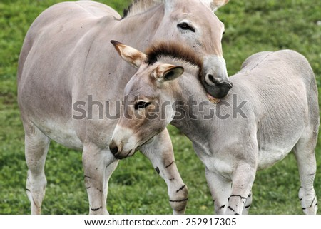 Donkeys in a Field in sunny day, animals series - stock photo