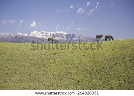 Donkeys passing by on green grass in front of snow-covered Topa Topa Bluffs, Ojai, California - stock photo